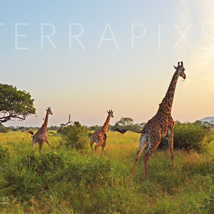 AFR616 Masi Giraffes At Sunset-Serengeti National Park, Tanzania