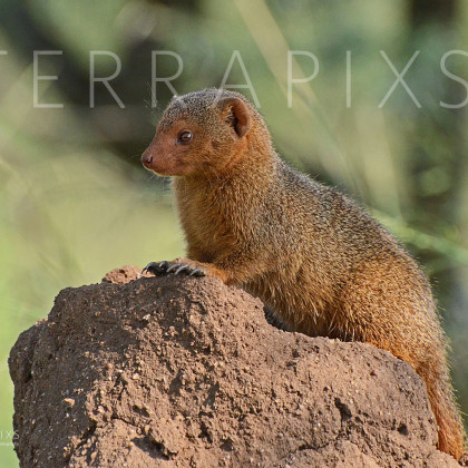 AFR621 Dwarf Mongoose (on termite mound)-Serengeti National Park, Tanzania