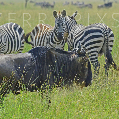 AFR629 White-Bearded Wildebeest & Burchell's Zebra-Serengeti National Park, Tanzania