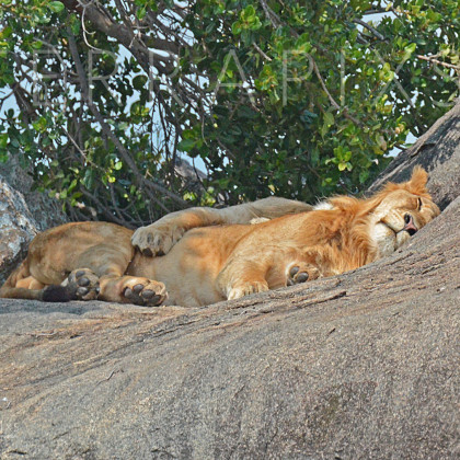 AFR631 African Lion (napping with his lioness)-Serengeti National Park, Tanzania