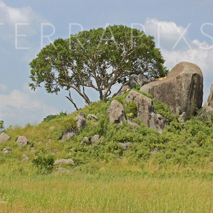 AFR632 Simba On Pride Rock (outcropping called a Kopje)-Serengeti National Park, Tanzania