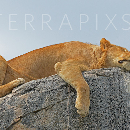 AFR634 African Lions Sleep A Lot-Serengeti National Park, Tanzania