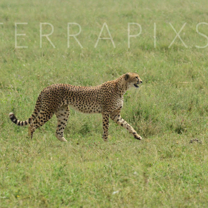 AFR636 Cheetah (on the prowl & built for speed)-Serengeti National Park, Tanzania