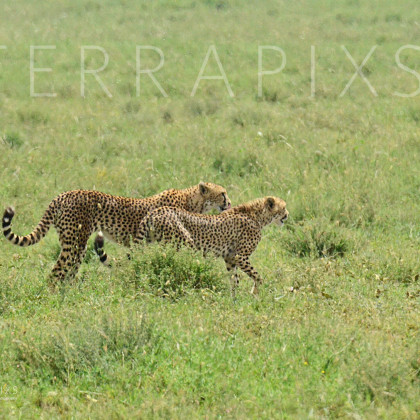 AFR637 Cheetah (hunting pair)-Serengeti National Park, Tanzania