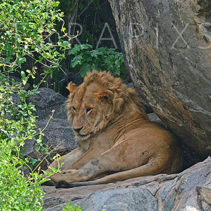 AFR638 African Lion On Kopje (rock outcrop)-Serengeti National Park, Tanzania