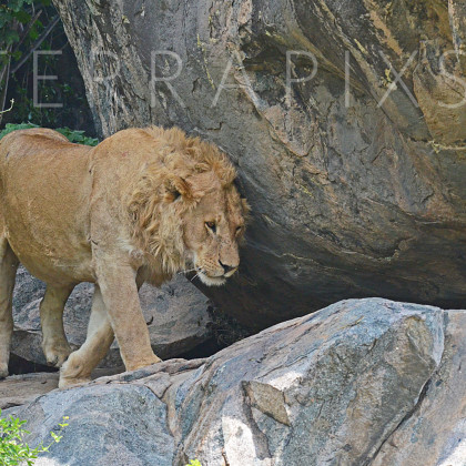 AFR639 African Lion On Kopje (rock outcrop)-Serengeti National Park, Tanzania