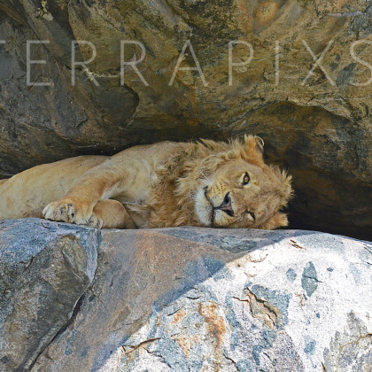 AFR642 African Lion on Kopje (rock outcrop)-Serengeti National Park, Tanzania