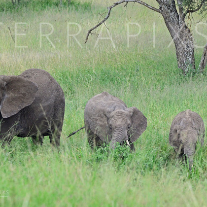 AFR643 African Elephant Family Group-Serengeti National Park, Tanzania