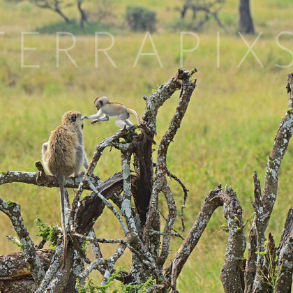 AFR644 Vervet Monkeys-Serengeti National Park, Tanzania