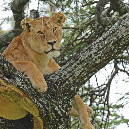 AFR646 African Lioness In A Sausage Tree-Serengeti National Park, Tanzania