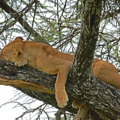 AFR647 African Lioness In A Sausage Tree-Serengeti National Park, Tanzania