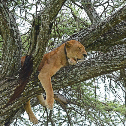 AFR648 African Lioness In A Sausage Tree-Serengeti National Park, Tanzania