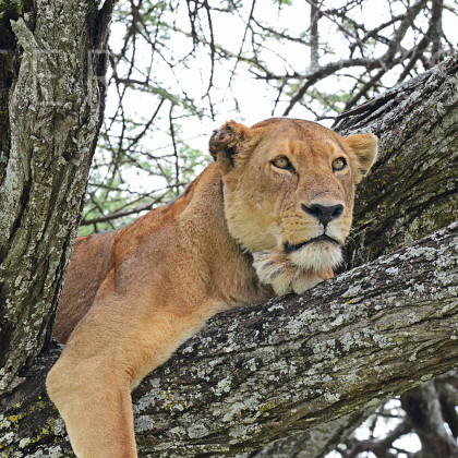 AFR649 African Lioness In A Sausage Tree-Serengeti National Park, Tanzania
