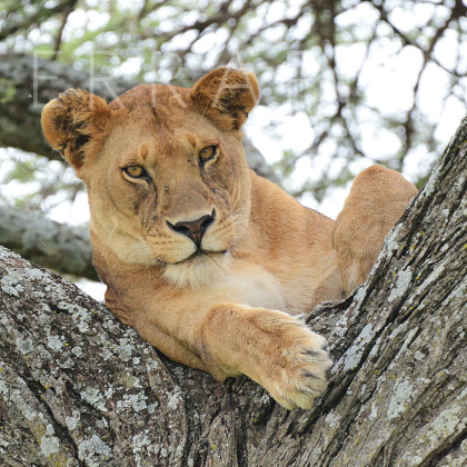 AFR650 African Lioness In A Sausage Tree-Serengeti National Park, Tanzania