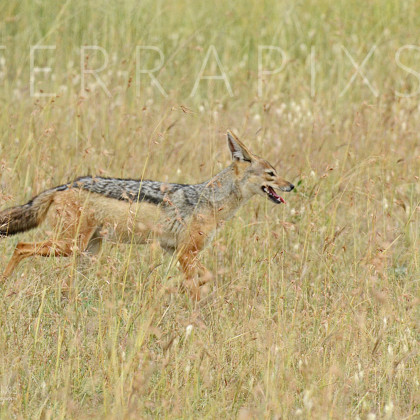 AFR653 Black-Backed Jackal-Serengeti National Park, Tanzania