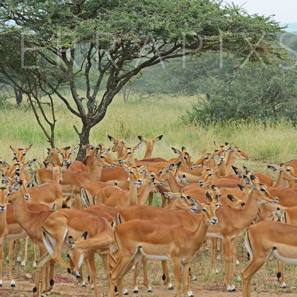 AFR654 Impala (females)-Serengeti National Park, Tanzania