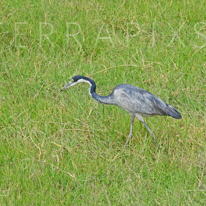 AFR355 Black-Headed Heron-Amboseli Reserve, Kenya