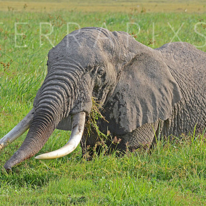 AFR357 African Elephant (belly deep in marsh)-Amboseli Reserve, Kenya