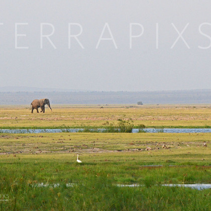 AFR359 African Elephant (going home)-Amboseli Reserve, Kenya