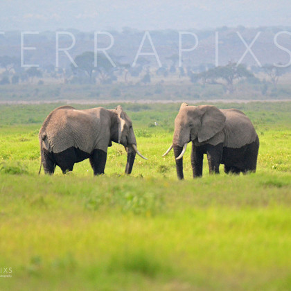 AFR334 African Elephants (wallowing in the marsh)-Amboseli Reserve, Kenya