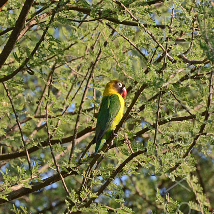 AFR478 Yellow Collared Lovebird-Tarangire National Park, Tanzania