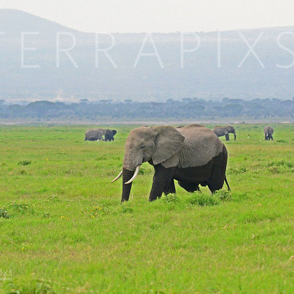 AFR335 African Elephants (wallowing in the marsh)-Amboseli Reserve, Kenya