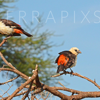 AFR489 White-Headed Buffalo Weaver-Tarangire National Park, Tanzania