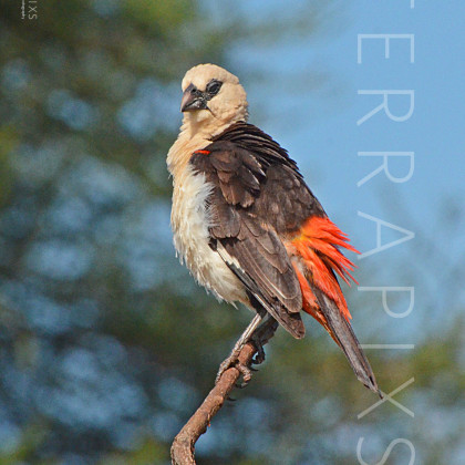 AFR490 White-Headed Buffalo Weaver-Tarangire National Park, Tanzania