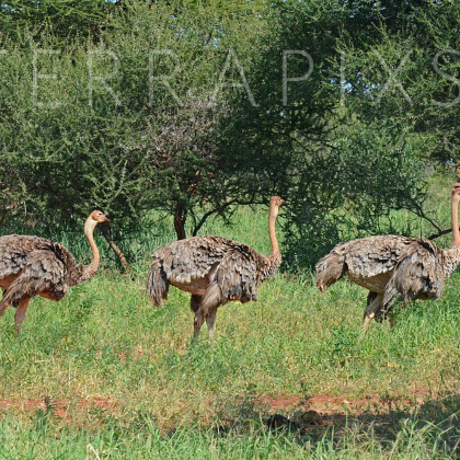 AFR493 Ostrich (females)-Tarangire National Park, Tanzania