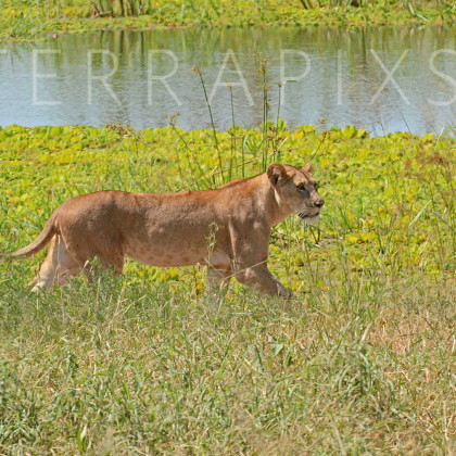 AFR498 African Lioness (on the prowl)-Tarangire National Park, Tanzania