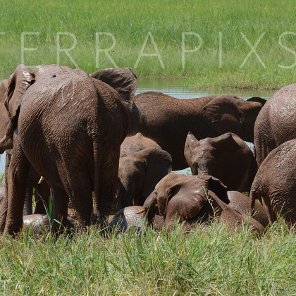 AFR406 African Elephants (wallowing in the mudhole)-Tarangire National Park, Tanzania