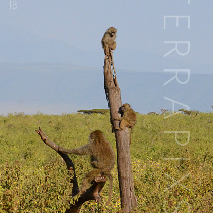 AFR504 Monkey Up A Flagpole-Ngorongoro Crater Conservation Area, Tanzania