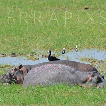 AFR515 Hippopotamus (relaxing in the mudhole)-Ngorongoro Crater Conservation Area, Tanzania