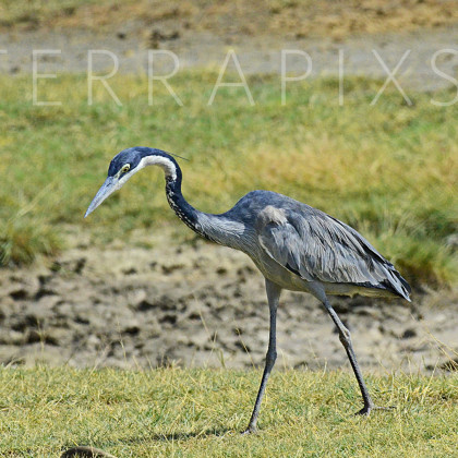 AFR518 Black-Headed Heron-Ngorongoro Crater Conservation Area, Tanzania