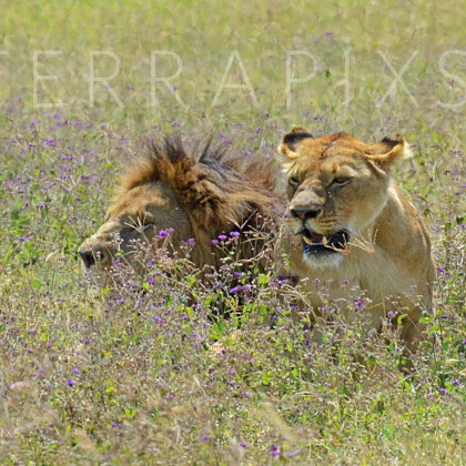 AFR523 African Lion & Lioness-Ngorongoro Crater Conservation Area, Tanzania
