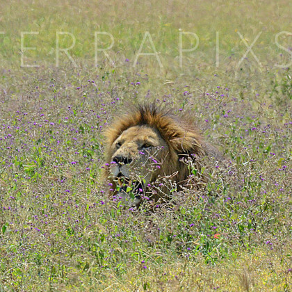 AFR524 African Lion-Ngorongoro Crater Conservation Area, Tanzania