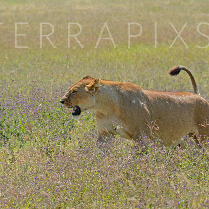 AFR525 African Lioness-Ngorongoro Crater Conservation Area, Tanzania