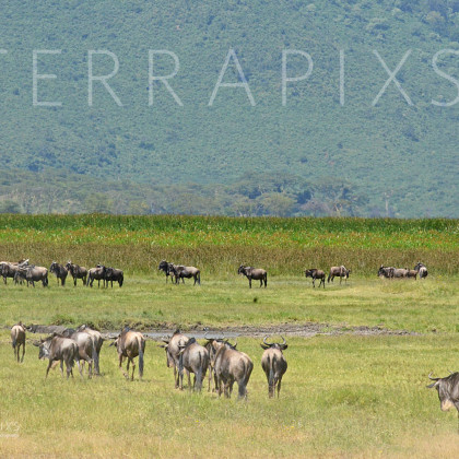 AFR526 White-Bearded Wildebeest-Ngorongoro Crater Conservation Area, Tanzania