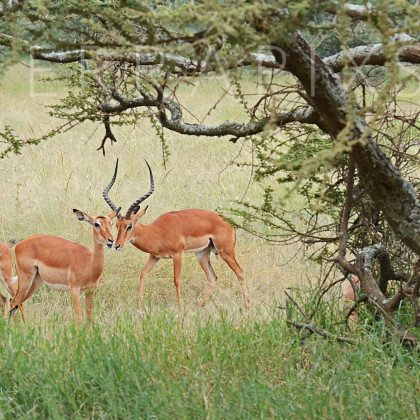 AFR655 Impala (male & his ladies)-Serengeti National Park, Tanzania