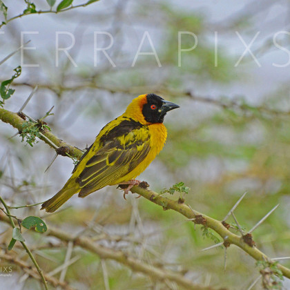 AFR228 Black Headed Weaver on Acacia-Masa Mara Reserve, Kenya