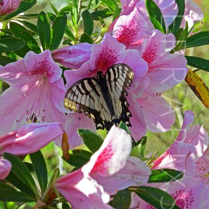 OTC130 Tiger Swallowtail (Male) On Azalea-Blount County, AL