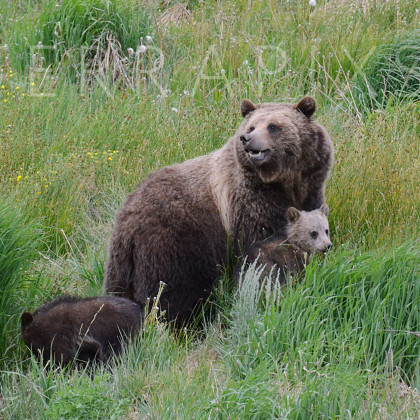 YEL109 Grizzly Sow & Her Cubs-Shoshone National Forest, WY