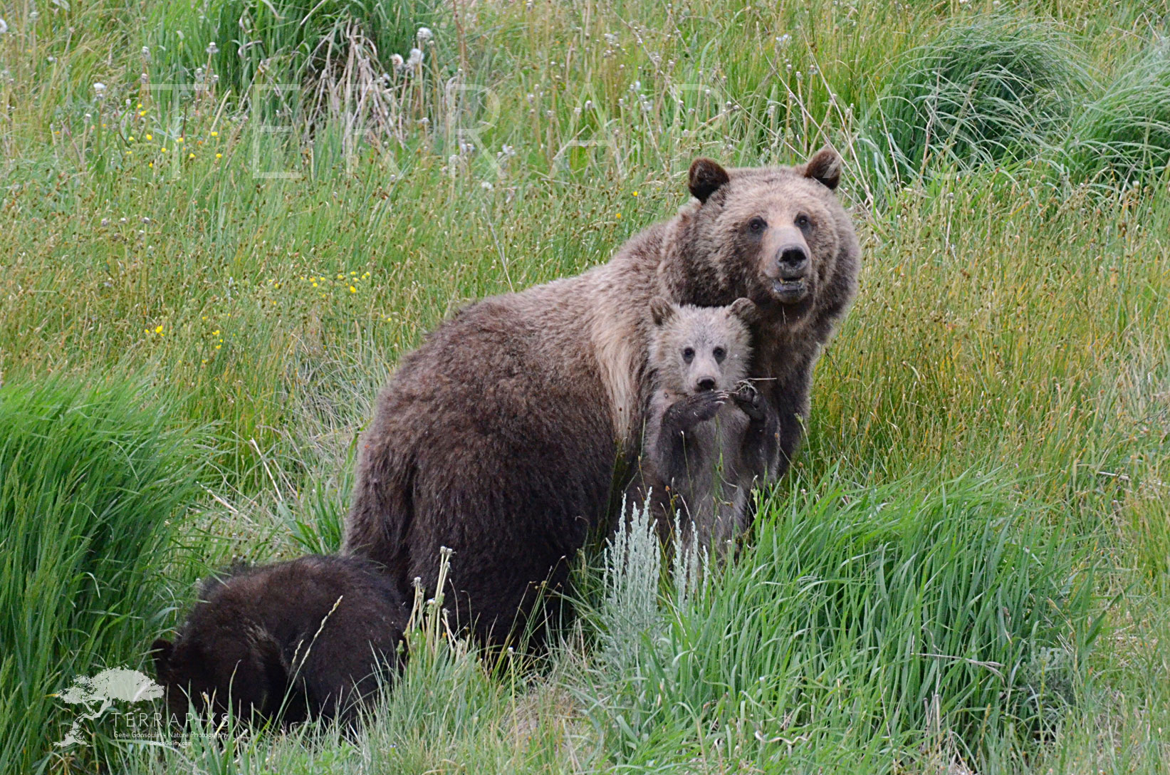 YEL108 Grizzly Sow & Her two Cubs-Shoshone National Forest, WY