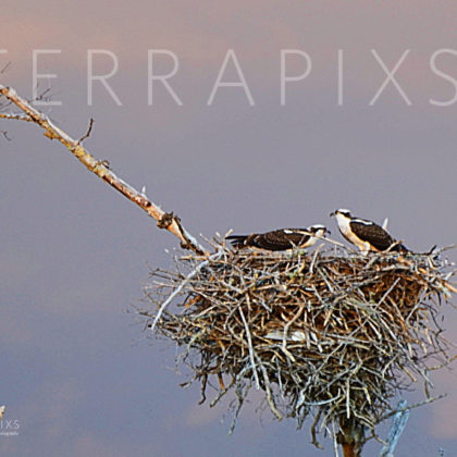 GUL235 Osprey On Their Nest-Sanibel Island, FL