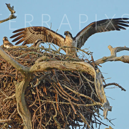 GUL242 Osprey & Chicks-Spring Branch-Perdido Bay, AL